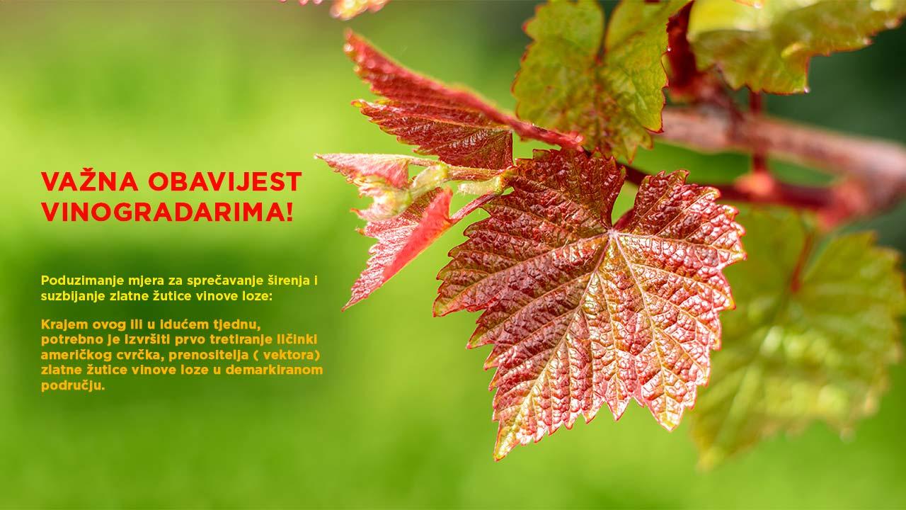 Poduzimanje mjera za sprečavanje širenja i suzbijanje zlatne žutice vinove loze